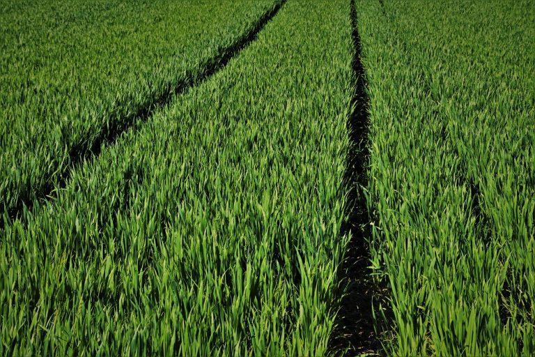 Możesz wpłynąć na jakość plonów zbóż ozimych